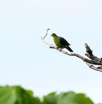 石垣島遠征(その11)・・・ - 一期一会の野鳥たち