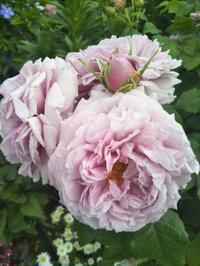 6月のバラの作業 - 薔薇のガーデナー Weekend's+Ladybirds