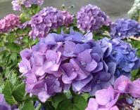 あじさいの彩りが美しい季節になりました。 - 花と小さなおもてなしサロン~ ligare flora~