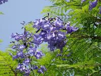 八幡屋公園のジャカランダ - 彩の気まぐれ写真