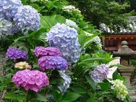 矢田寺の紫陽花 - 彩の気まぐれ写真