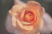rose - My Palpitation