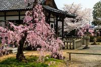 桜咲く京都2018上品蓮台寺の桜たち - 花景色-K.W.C. PhotoBlog