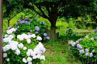 湖畔の紫陽花を見に・・  (3) - ぶらり散歩 ~四季折々フォト日記~