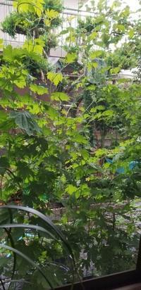 グリーンカーテンゴーヤ - 木のこのこ