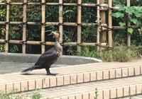 5カワウ(河鵜、川鵜) - 荒川区百景、再発見