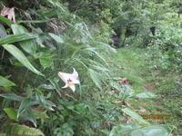 ササユリの季節 - 宮迫の! ようこそヤマボウシの森へ