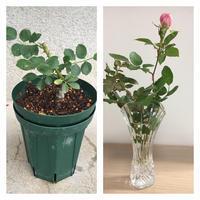 新苗のその後 - 春&ナナと庭の薔薇
