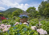 箱根ガラスの森の庭園は紫陽花とバラが満開 - エーデルワイスPhoto