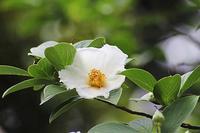 ナツツバキとザクロの花。としまえんのアジサイ - 子猫の迷い道Ⅱ