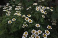 フィーバーフュー(夏白菊) - 世話要らずの庭