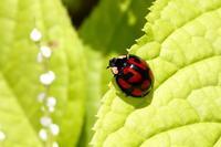 カメノコテントウ - Insect walk