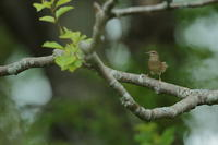 想い出【エゾセンニュウ・マキノセンニュウ・シマセンニュウ】 - 鳥観日和