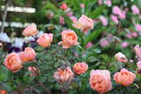 ほんとはもっとキレイなのだ*レディエマハミルトン - my small garden~sugar plum~