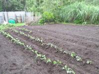 サツマイモ苗の植え付け - 畑へ行こう♪