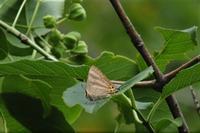 ■トラフシジミと名残りのゼフ 3種18.6.16 - 舞岡公園の自然2