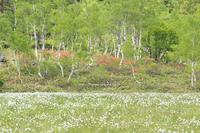 ワタスゲ咲く志賀高原 - 野沢温泉とその周辺いろいろ