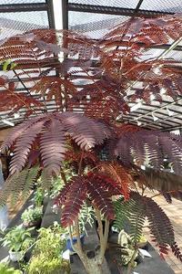 『古典植物と山野草展』開催中! - 手柄山温室植物園ブログ 『山の上から花だより』