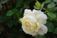 チャイコフスキーが咲き出したマイガーデン - 季節の風を追いかけて
