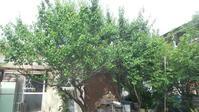 第一梅の木整理&梅取り - よっし~発・・・・・手作り基地