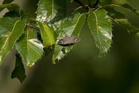 ヒロオビミドリとウスイロオナガ - チョウ!お気に入り