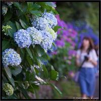飛鳥山公園のあじさい Part 1 - TI Photograph & Jazz