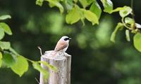 チゴモズ - てるっち日記 野鳥編
