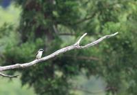 新緑のチゴモズ - 鳥見って・・・大人のポケモン