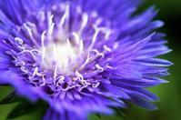 ■Myファームから花便り【瑠璃菊/トリティア/ルドベキア3種】 - 「料理と趣味の部屋」