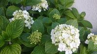 紫陽花や変わらぬ土を白く咲き - 十七文字や