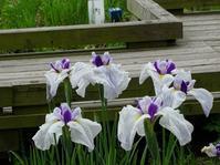 大和民俗公園の花菖蒲 - 彩の気まぐれ写真