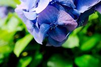 【その他】薬師池公園の菖蒲&紫陽花祭りに行ってきた-2018.06.17- - ヴァレッタの休日 ~まったり気分をあなたに~