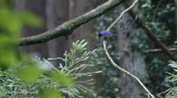 暗い森の中で出逢ったオオルリ - 雅郎の花鳥風月