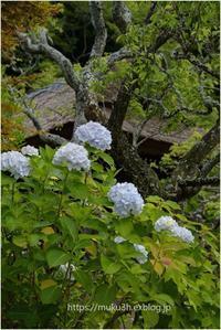 東慶寺の紫陽花 - muku3のフォトスケッチ