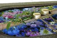「水あじさい-真如堂-」 - ほぼ京都人の密やかな眺め
