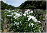 花公園の花菖蒲 - 野鳥の素顔 <野鳥と日々の出来事>
