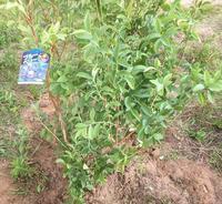 ブルーベリーとレモンを植えた - 風に吹かれて+++水の町にくらす