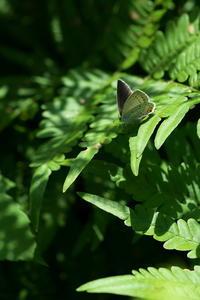 おらが季節オオシオカラトンボ(大塩辛蜻蛉)他 - 身近な自然を撮る