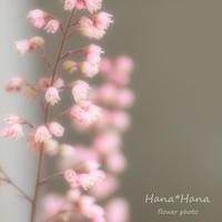 *ヒューケラ* - HANA*HANA