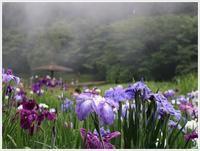 土曜日のお出掛け、神楽女湖の菖蒲、今年は運よく満開でした\(>∀<)/ - さくらおばちゃんの趣味悠遊