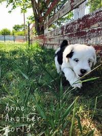 アメリカで初めて犬を飼う - しかも、チベタンテリア! - Pomlchaki ポムルチャッキ