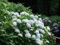 森の中のあじさい - mille fleur の花とおやつ