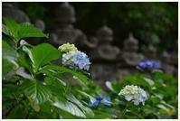 妙法寺の紫陽花 -  one's  heart