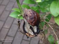 胡桃の木 - Gardener*s Diary