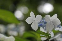 本日の六義園は紫陽花 - みるはな写真くらぶ