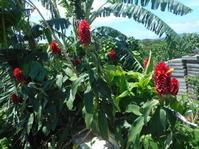 新しく花壇を!コモススとバーベナ。 - 沖縄山城紅茶 茶摘み日記