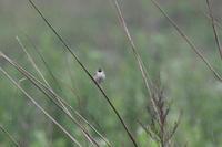 草原のセッカ - 鳥さんと遊ぼう