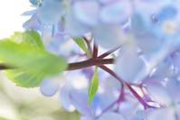 6/17アジサイ黒軸 - 「あなたに似た花。」
