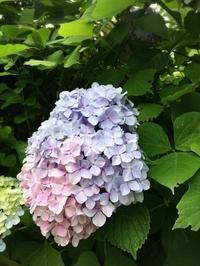 鎌倉のあじさい - うつわ愛好家 ふみの のブログ