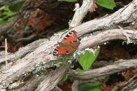 クジャクチョウ山梨と奥多摩 - 蝶のいる風景blog